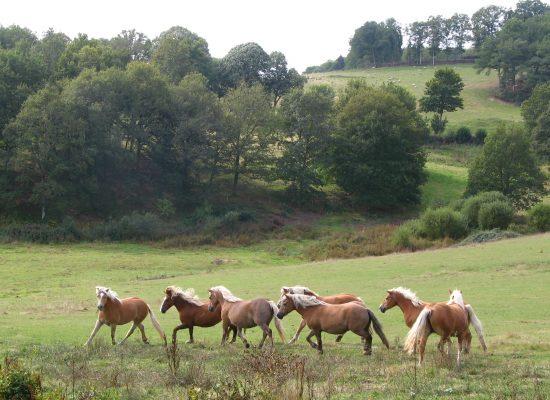 Elevage de chevaux Haflinger